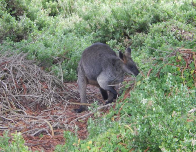 rs wallaby at Griffiths Island Port Fairy