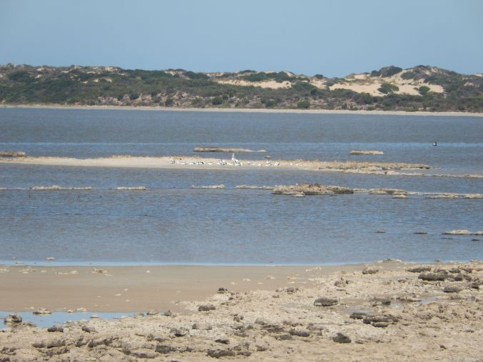 Telephoto zoom of Pelicans on breeding island in Coorong March 2020 rs